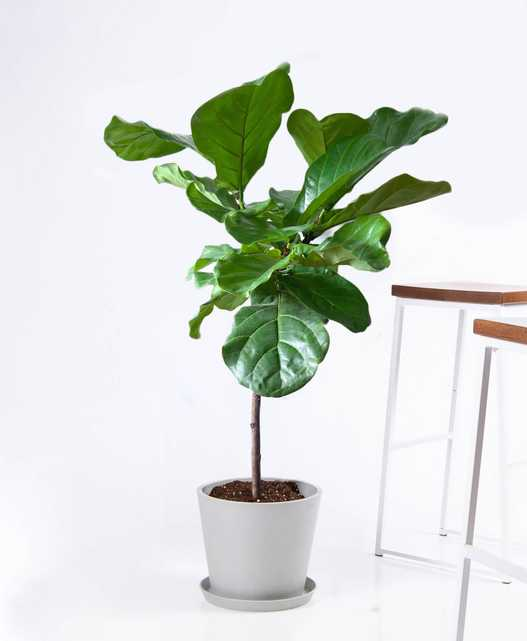Fiddle Leaf Fig - stone - Bloomscape