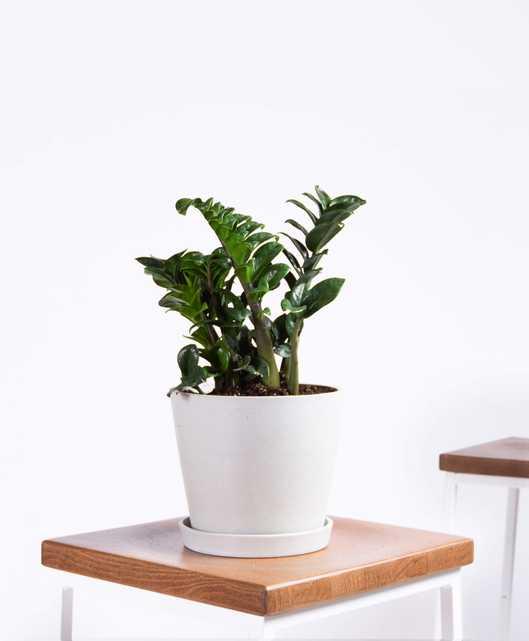 Zenzi plant - Stone - Bloomscape