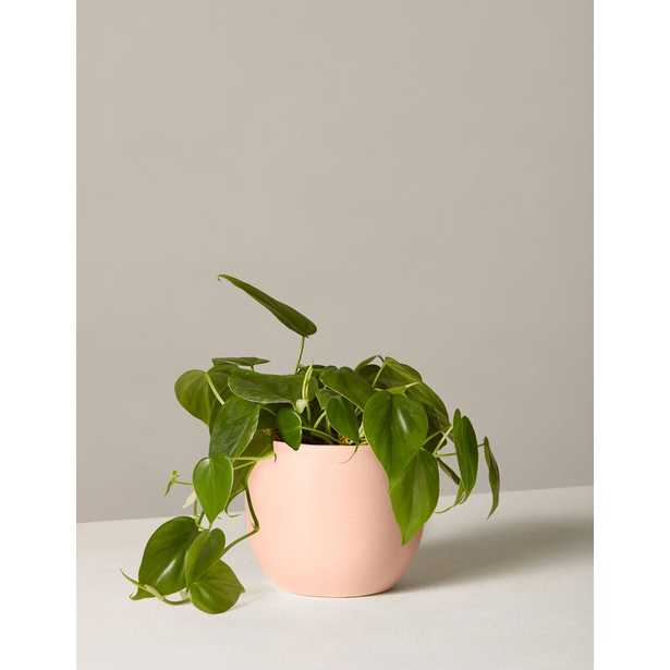 """The Sill Live Philodendron Plant in Pot Size: 12"""" H x 5"""" W x 5"""" D, Base Color: Blush - Perigold"""