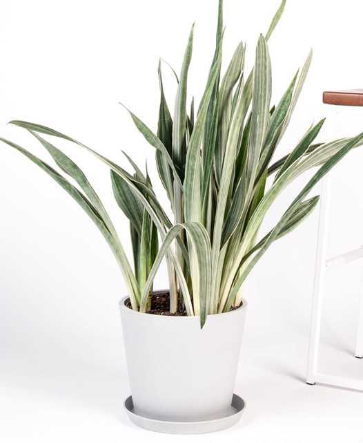 sansevieria (snake plant) - stone - Bloomscape