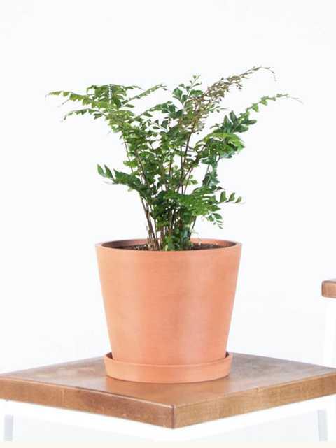 fern mahogany - Bloomscape
