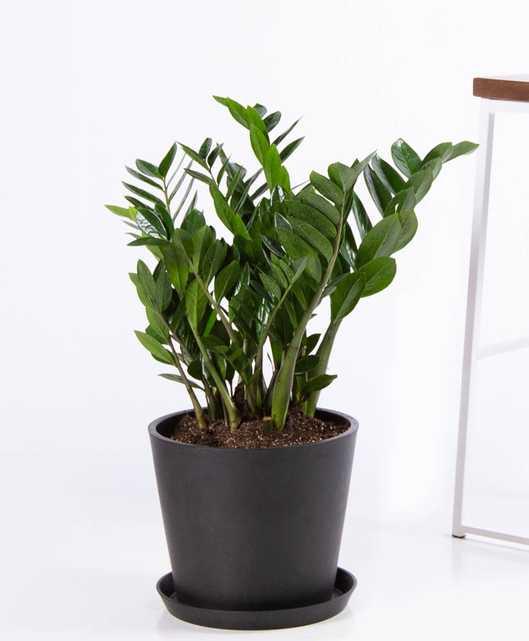 ZZ plant - Charcoal - Bloomscape