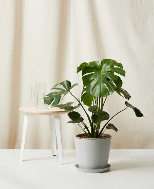 Monstera - Bloomscape