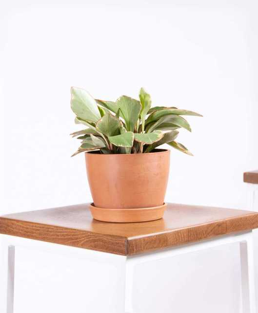 Peperomia ginny - Clay - Bloomscape