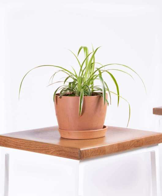 Spider plant - Clay - Bloomscape