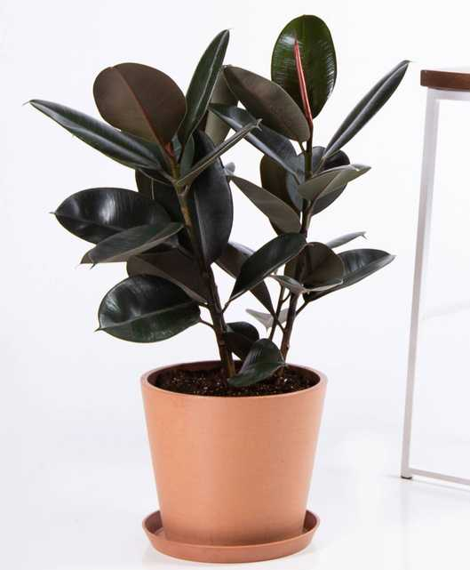 Burgundy rubber tree - Clay - Bloomscape