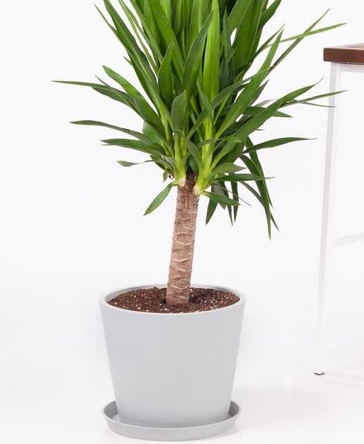 Yucca Cane - Stone - Bloomscape