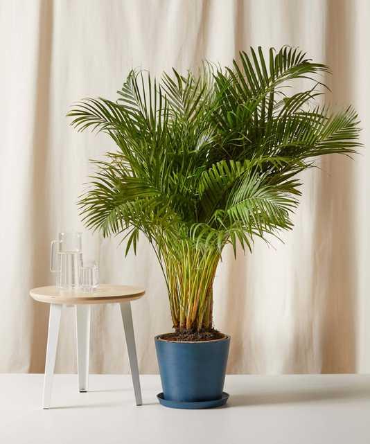Areca Palm - Bloomscape