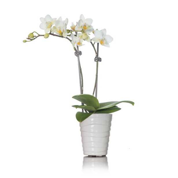 White Mini Orchid Plant in Ceramic Pot - Home Depot