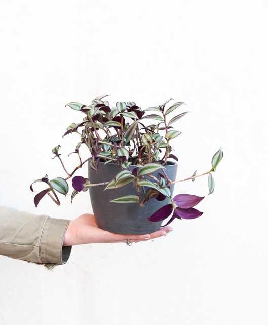 Tradescantia Zebrina - Slate - Bloomscape
