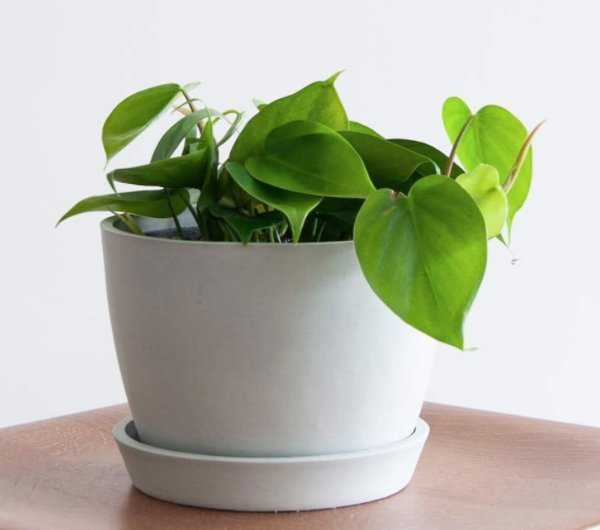Philodendron Heartleaf - Stone - Bloomscape
