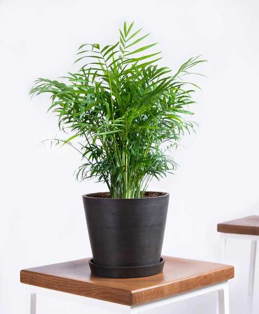 Parlor palm - Charcoal - Bloomscape