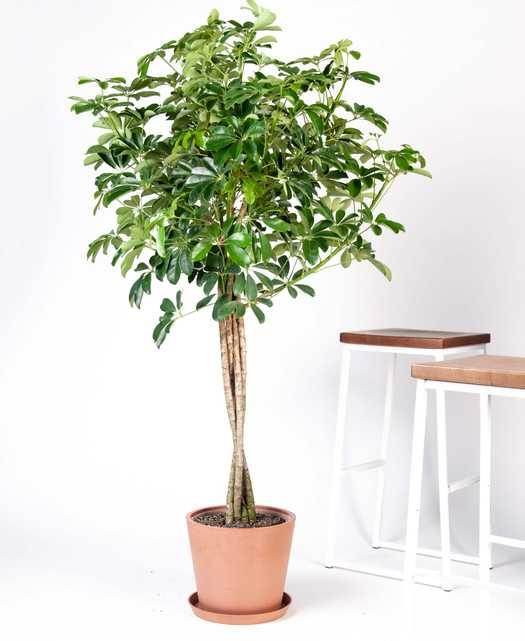 schefflera arboricola - clay pot - Bloomscape