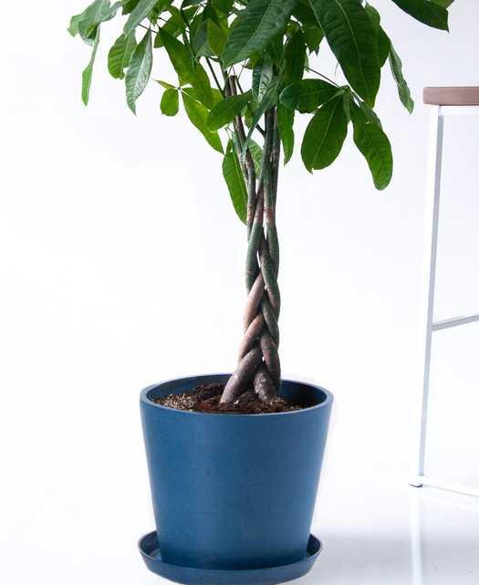 Money Tree - Indigo - Bloomscape