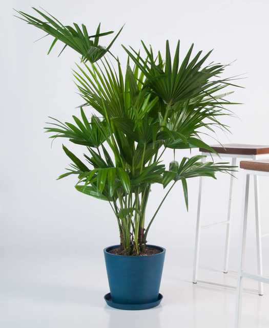 chinese fan palm- Indigo - Bloomscape