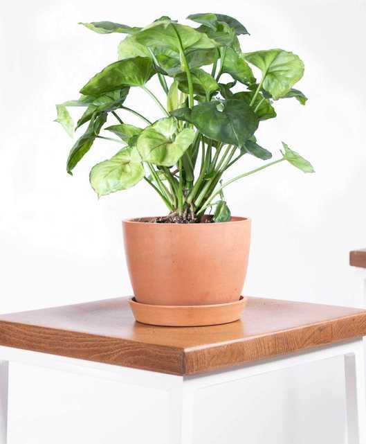 arrowhead plant - Clay - Bloomscape