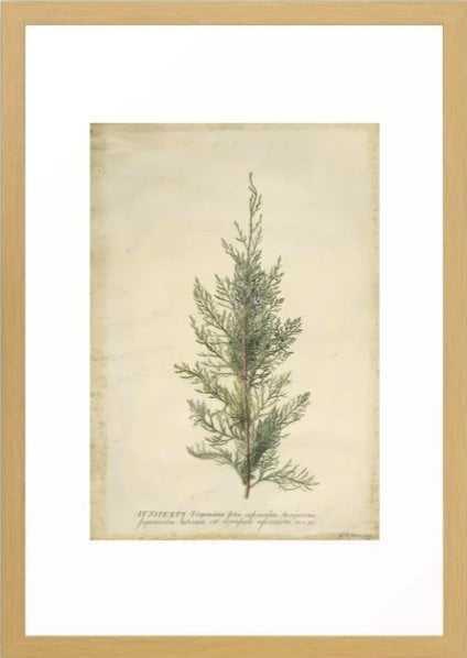 Vintage Botanical Juniper Branch Framed Art Print - Society6