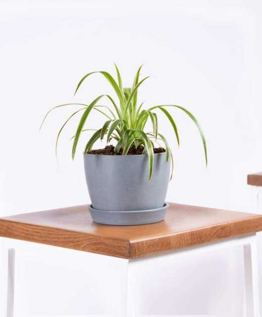 Spider plant - Slate - Bloomscape