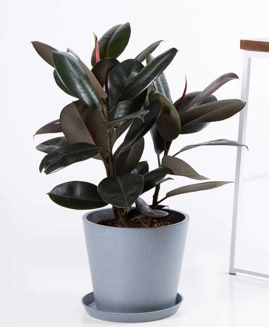 Burgundy rubber tree - Slate - Bloomscape
