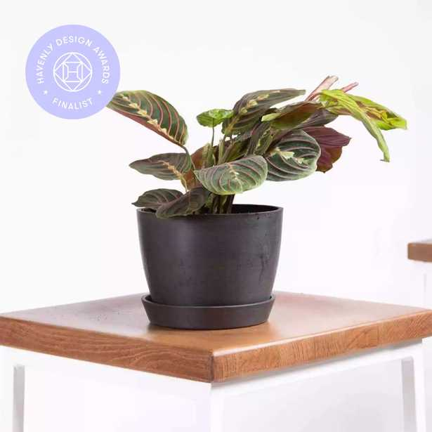 Red prayer plant - Charcoal - Bloomscape