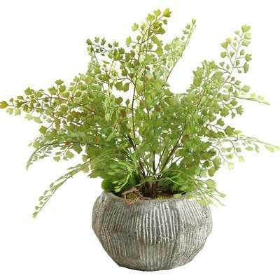 Fla Iron Foliage Plant in Pot - Wayfair