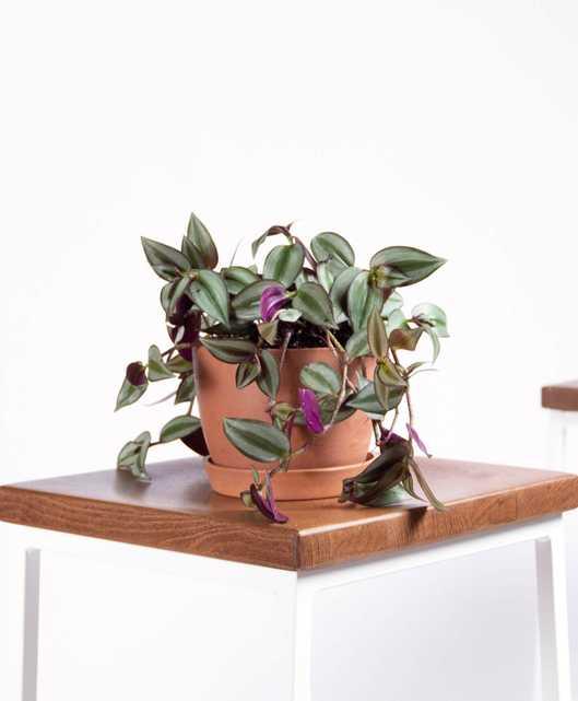 Tradescantia Zebrina - Clay - Bloomscape