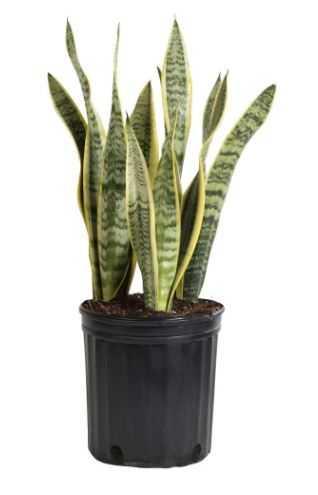 Sansevieria Laurentii in 8.75 in. Grower Pot - Home Depot