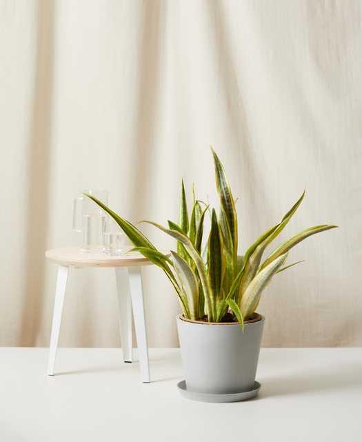 Sansevieria Lauren, Stone - Bloomscape