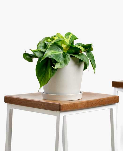 Philodendron brasil - Stone - Bloomscape