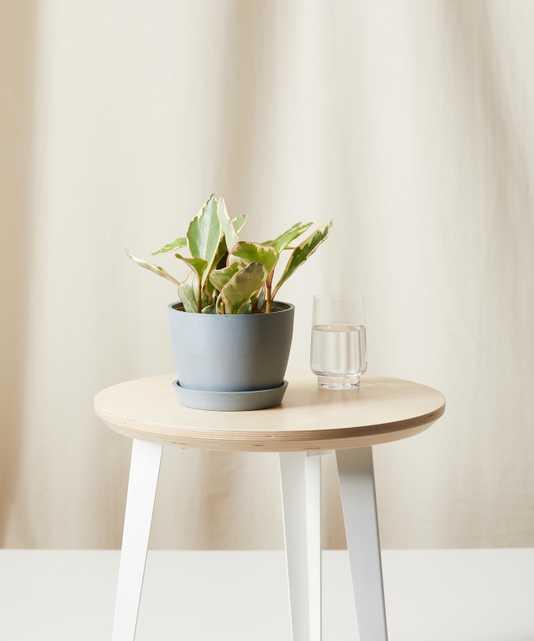 Philodendron Heartleaf, Slate Pot - Bloomscape