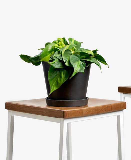 Philodendron brasil - Charcoal - Bloomscape