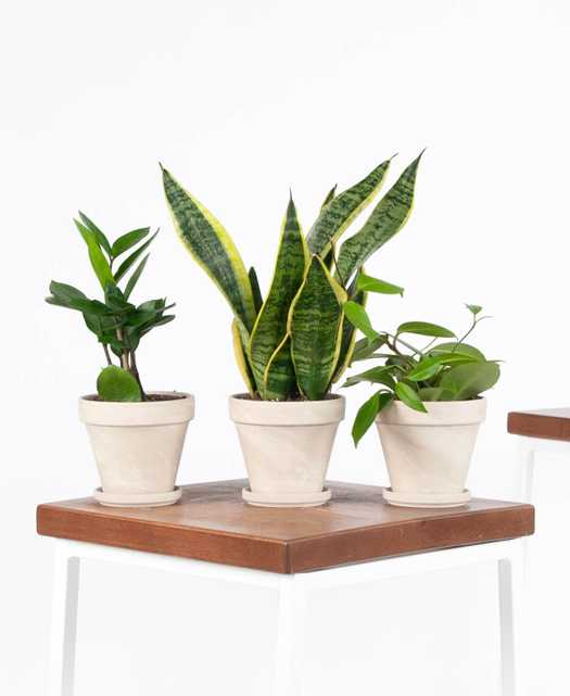 Tough Stuff Collection, Three easy and adaptable plants - Bloomscape