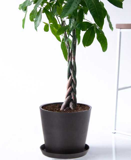 Money Tree, Charcoal Pot - Bloomscape