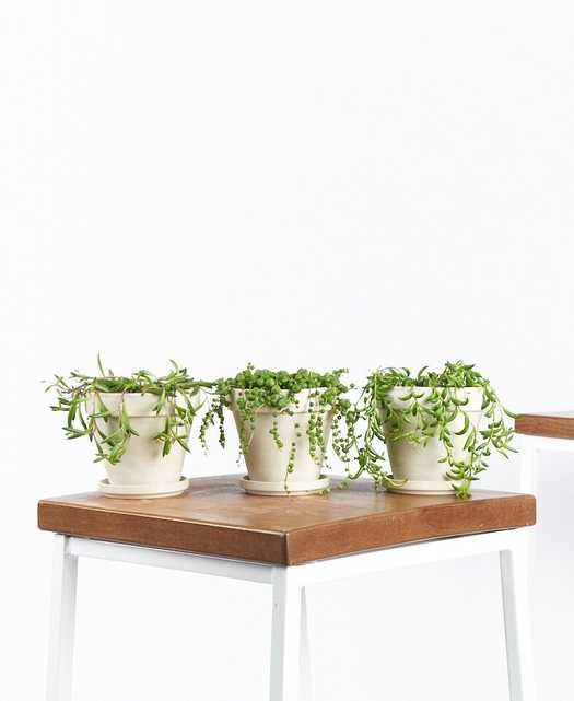 String of Succulents Collection, Alabaster (3) - Bloomscape