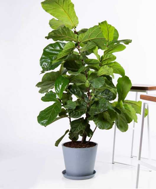 Fiddle leaf fig - Slate - Bloomscape