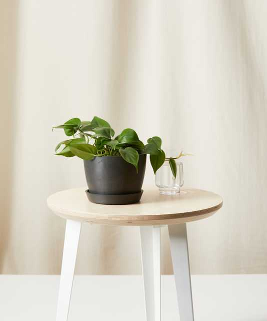 Philodendron Heartleaf - Bloomscape