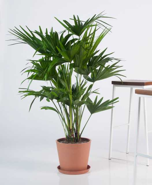 chinese fan palm - Bloomscape