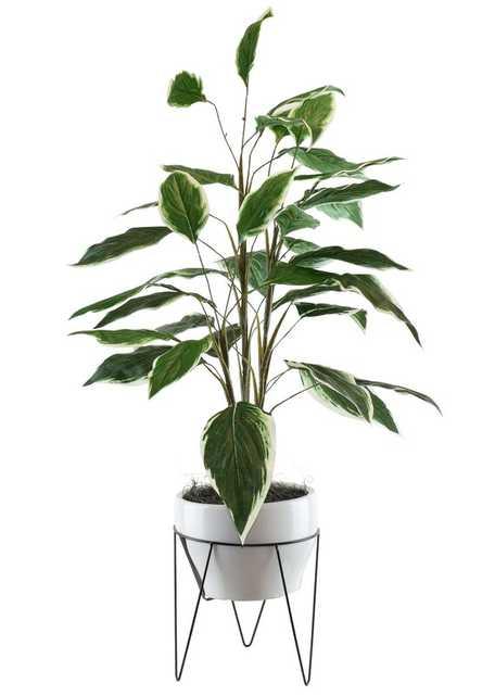 Dieffenbachia in a Mid Century Plant Stand - Wayfair