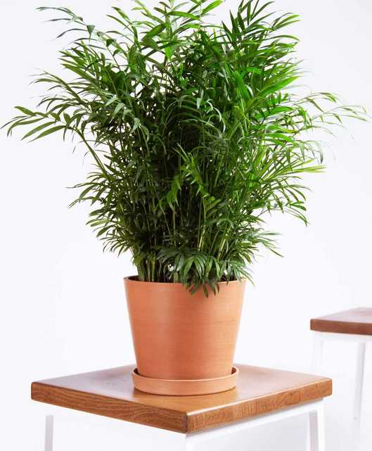 Parlor palm - Clay - Bloomscape