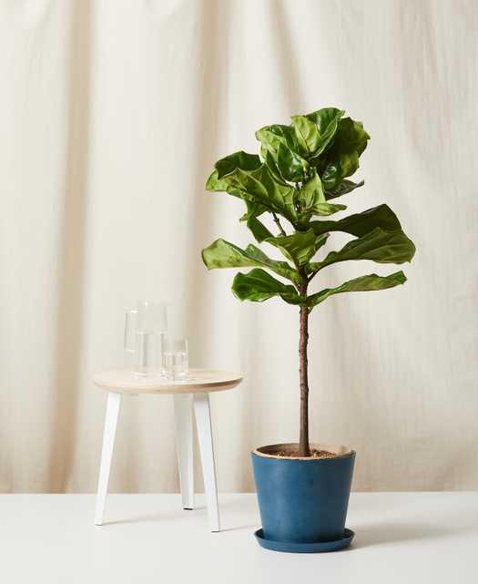 Fiddle Leaf Fig - Indigo Pot - Bloomscape