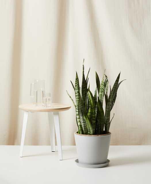 Sansevieria-  Stone Pot - Bloomscape