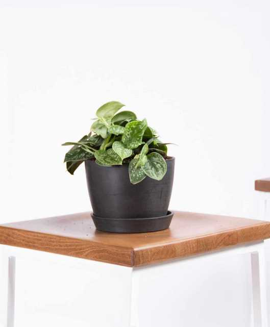 Silver Pothos - charcoal - Bloomscape
