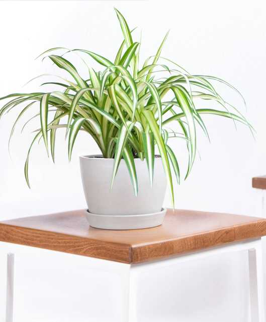 spider plant - Bloomscape