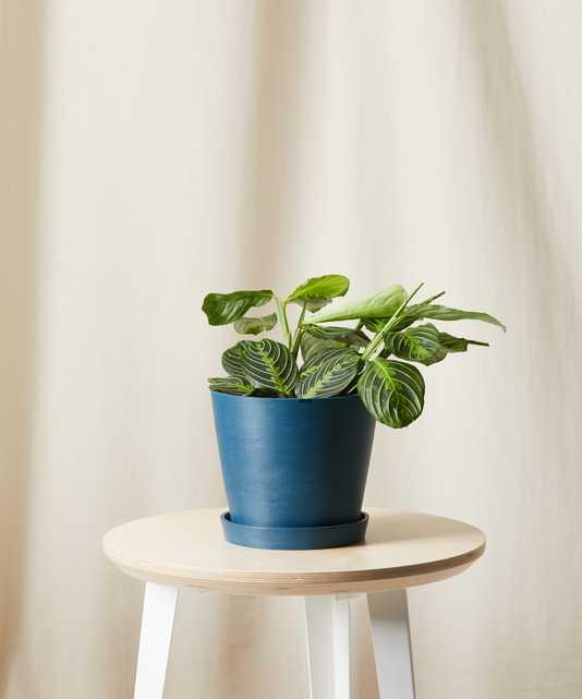 neon prayer plant - Bloomscape