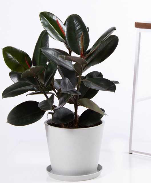 Burgundy rubber tree - Stone  pot - Bloomscape