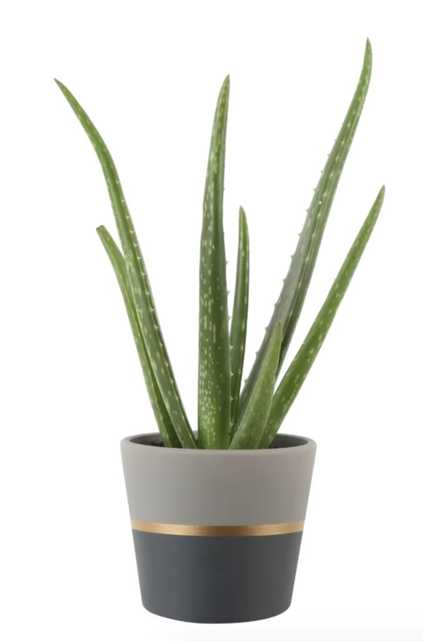 12'' Live Aloe Succulent in Planter - Wayfair