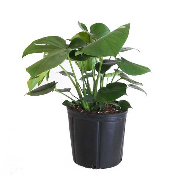 Monstera Plant Live Swiss Cheese Multi-stem Plant in 9.25 in. Grower Pot 22 in. - 28 in. Tall - Home Depot