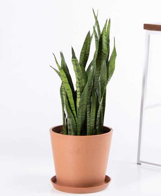 Sansevieria - Clay - Bloomscape