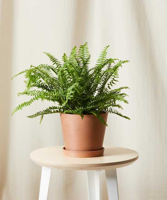 Kimberly queen fern - Clay - Bloomscape