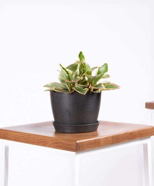 Peperomia ginny - Charcoal - Bloomscape